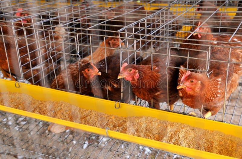 De eieren van de landbouwbedrijfkip stock fotografie