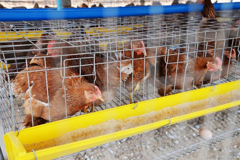De eieren van de landbouwbedrijfkip stock foto