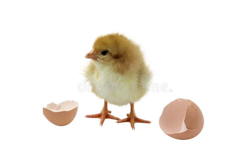 De eieren van het kuiken en shell royalty-vrije stock afbeelding