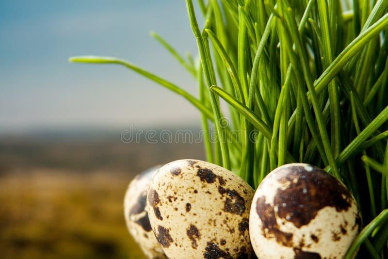 De eieren van kwartels en veren in groen gras royalty-vrije stock foto