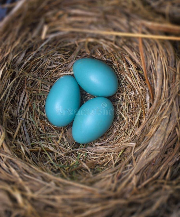 De eieren van Robin royalty-vrije stock fotografie