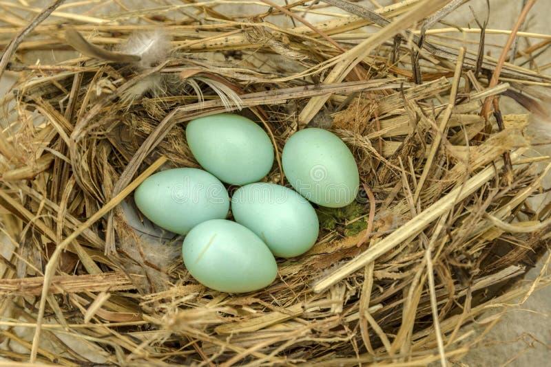 De eieren van Robin stock afbeelding