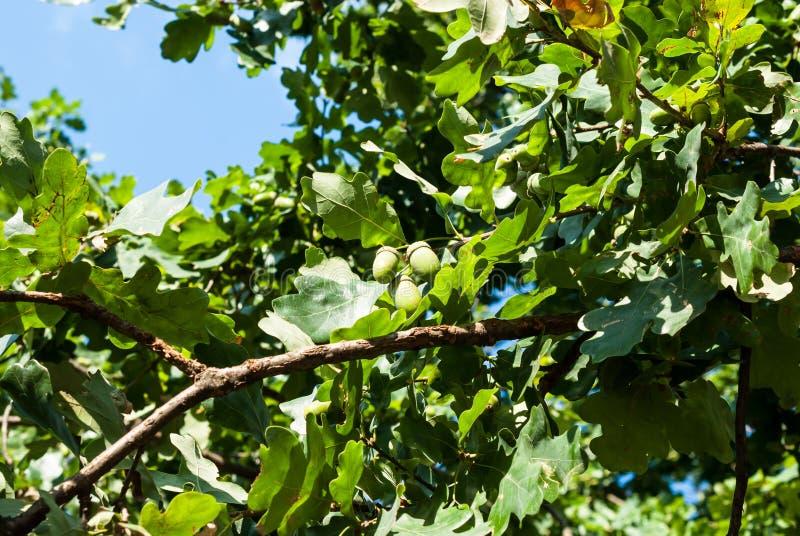 De eikels, eiken vruchten op een boom vertakken zich tegen een blauwe hemelachtergrond royalty-vrije stock afbeelding