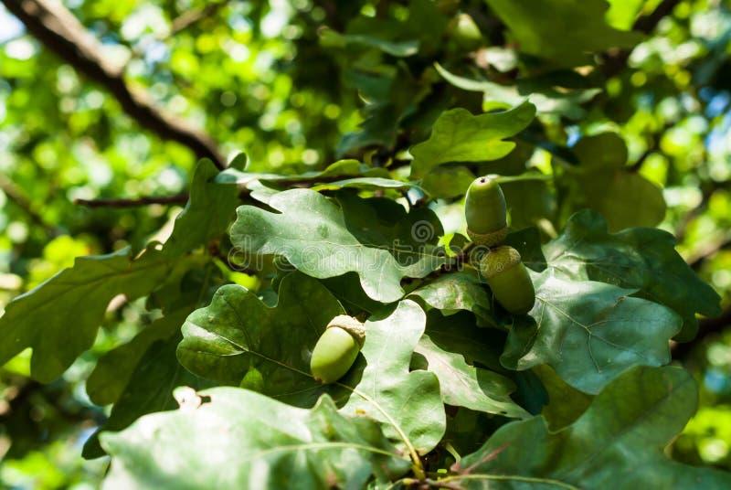 De eikels, eiken vruchten op een boom vertakken zich tegen een blauwe hemelachtergrond stock foto