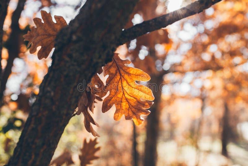 De eiken achtergrond van boombladeren Eiken tak met gouden bladeren De textuur en de achtergrond van de herfstbladeren voor ontwe royalty-vrije stock foto's
