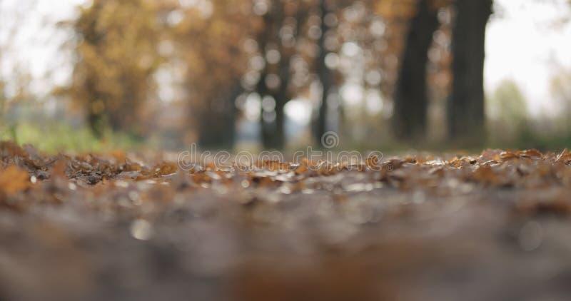De eiken bladeren van de Coseupherfst op grond in park stock foto's