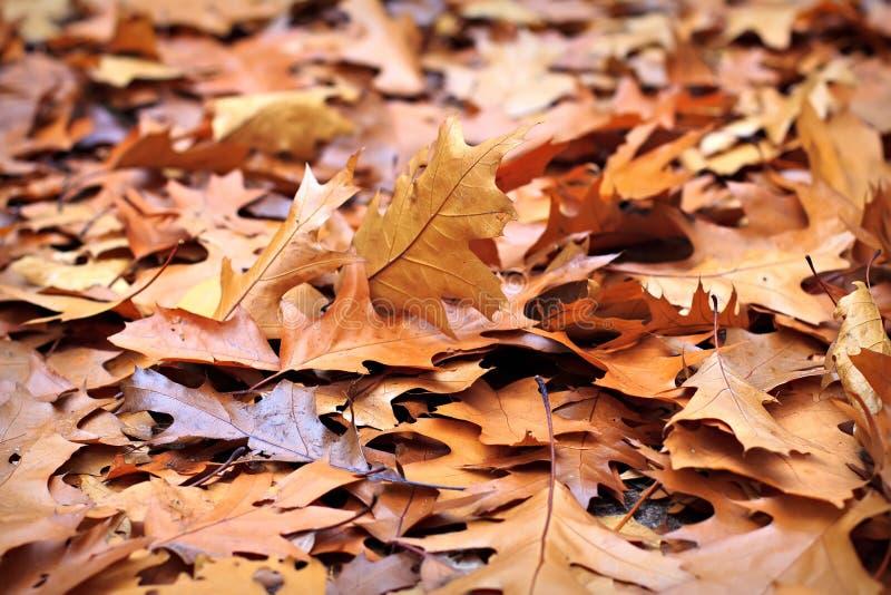 De eiken bladeren van de daling royalty-vrije stock foto