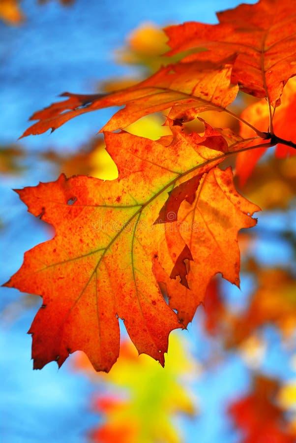 De eiken bladeren van de daling stock foto's