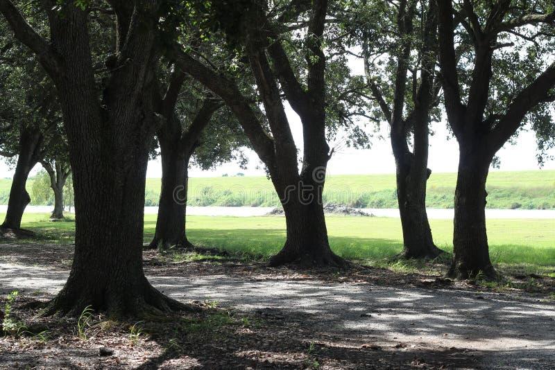 De Eiken Bomen van Louisiane stock foto's