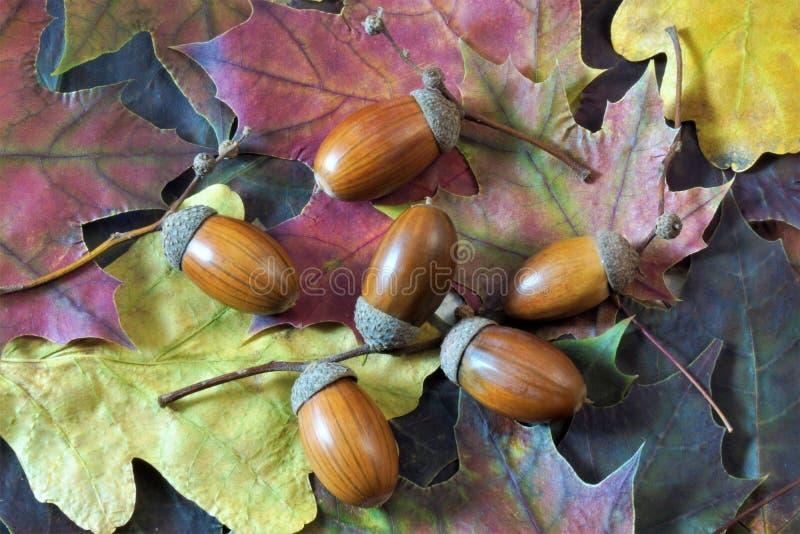 De eiken eikels, de Herfst verlaat het vallen, zijn de kleuren verschillend, achtergrond royalty-vrije stock afbeelding