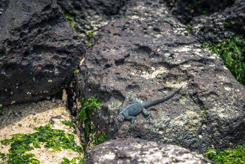 De Eilanden van de Galapagos - 23 Augustus, 2017: Marine Iguanas in Tortuga-Baai in Santa Cruz Island, de Eilanden van de Galapag royalty-vrije stock afbeeldingen