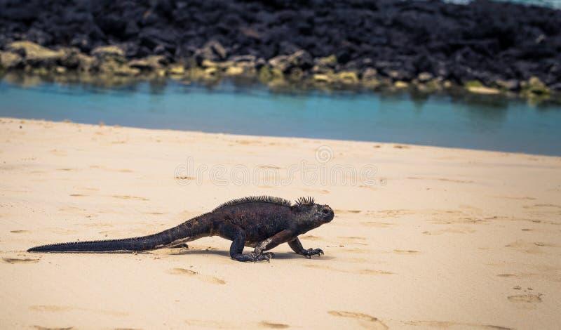 De Eilanden van de Galapagos - 23 Augustus, 2017: Marine Iguanas in Tortuga-Baai in Santa Cruz Island, de Eilanden van de Galapag stock afbeeldingen