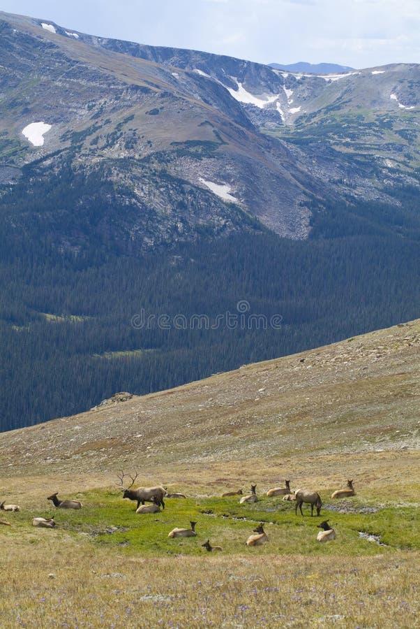 De elanden van de stier royalty-vrije stock foto