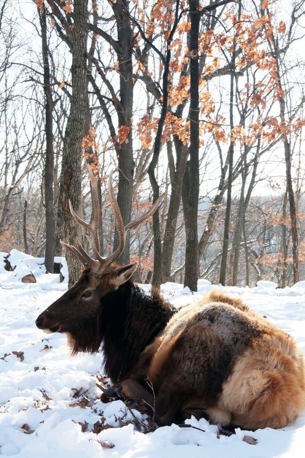De elanden van de stier stock afbeelding