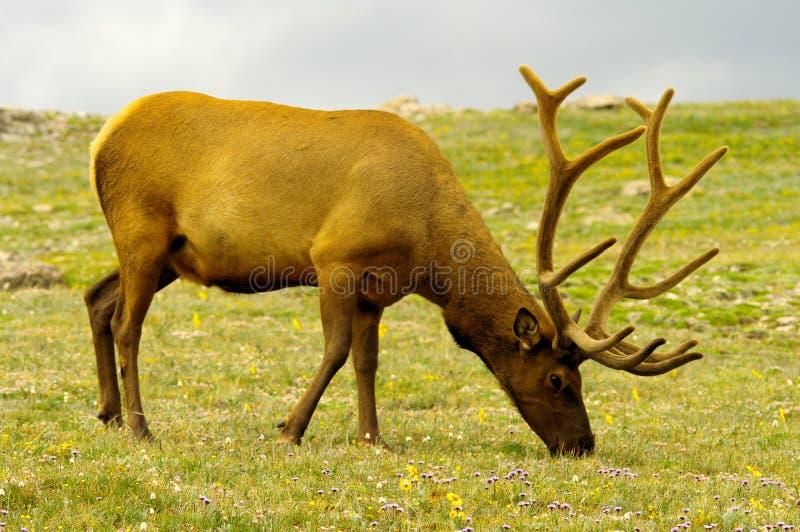 De elanden van de stier het weiden royalty-vrije stock foto