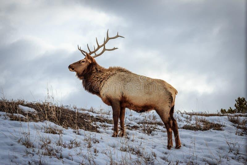 De Elanden van de Stier van Yellowstone stock afbeelding