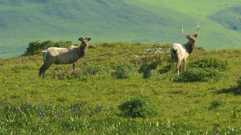 De elanden van Tule stock afbeelding