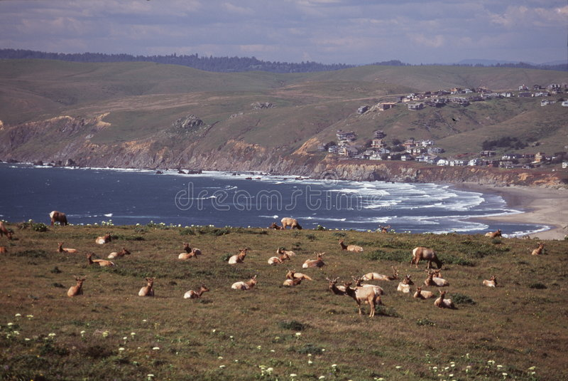 De elanden van Tule bij kust royalty-vrije stock afbeeldingen