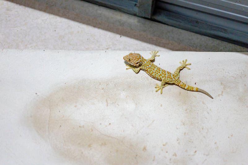 De enge Gekko beklimt en plakt op de cementmuur in toilet - Sourteast Azië royalty-vrije stock foto