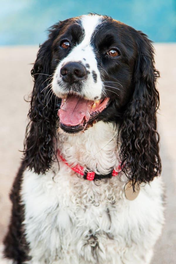 De Engelse Hond van het Aanzetsteenspaniel buiten Close-up stock foto