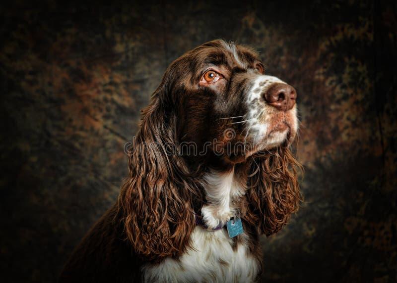 De Engelse hond van het Spaniel van de Aanzetsteen stock foto's