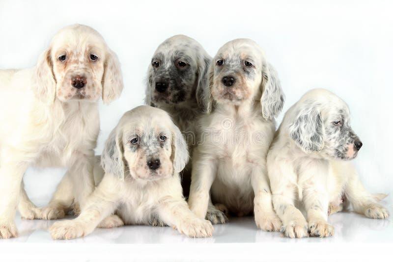 De Engelse puppy van de Zetter stock foto's