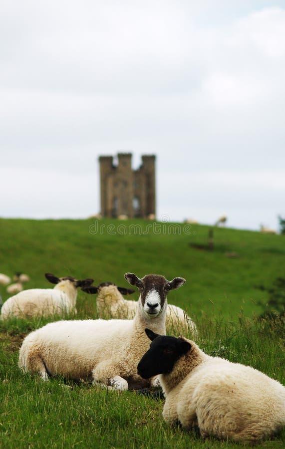 De Engelse Schapen van het Landbouwbedrijf stock afbeeldingen