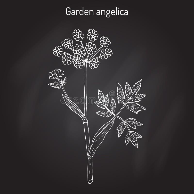 De Engelwortelarchangelica van de tuinengelwortel, of wilde selderie royalty-vrije illustratie