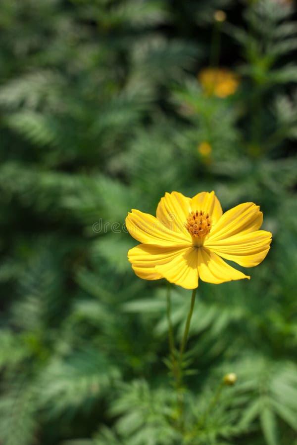 De enige bloem van kosmossulphureus stock foto