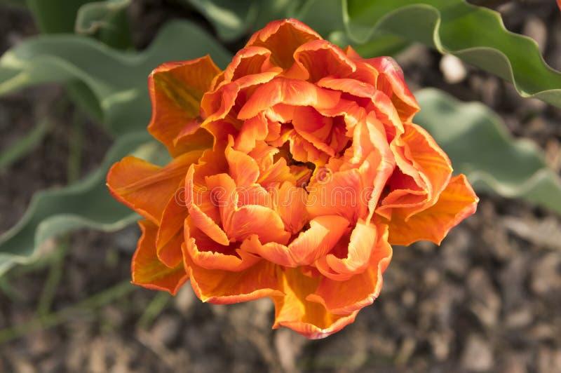 De enige kleur ontschorste de mooie tulp van de de lente oranje, rode en gele dubbele bloem in bloei in zonlicht royalty-vrije stock afbeeldingen