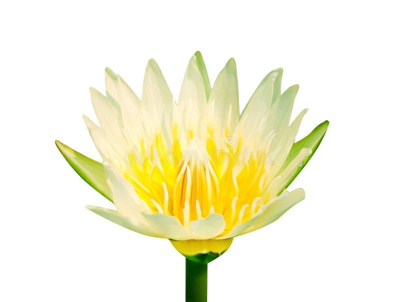De enige knop van de lelielotusbloem bloeit wit bloemblaadje met kleurrijk geel stuifmeel begint met bloeien geïsoleerd op achter stock foto