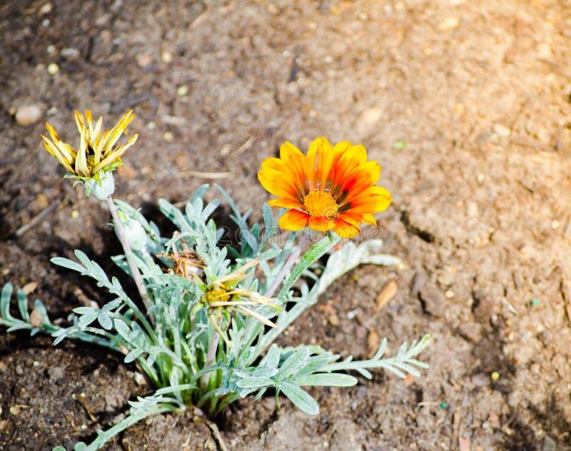 De enige Mooie oranje installatie van Gazania rigens groeit op een bloembed in een lentetijd bij een botanische tuin stock afbeeldingen