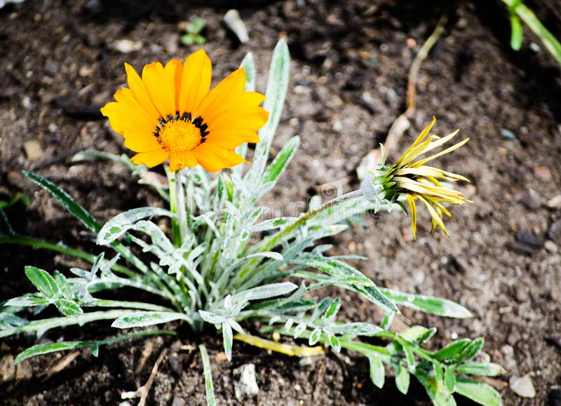 De enige Mooie oranje installatie van Gazania rigens groeit op een bloembed in een lentetijd bij een botanische tuin royalty-vrije stock afbeeldingen