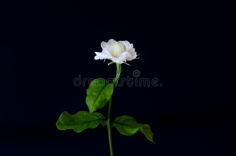 De enige mooie verse witte de Jasmijnbloem van Thailand met zijn die bladeren van tuin die voor aroma gebruiken en thee op zwarte royalty-vrije stock fotografie