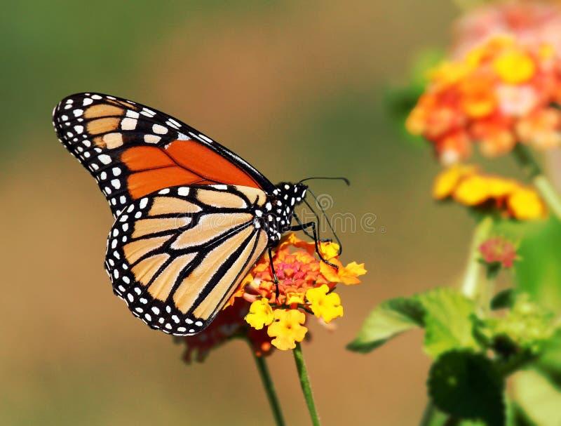 De enige vlinder van de Monarch royalty-vrije stock afbeelding