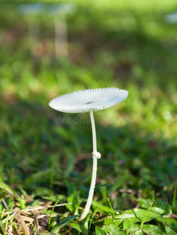 De enige Witte Tropische Wilde Paddestoel van Parasola stock foto's