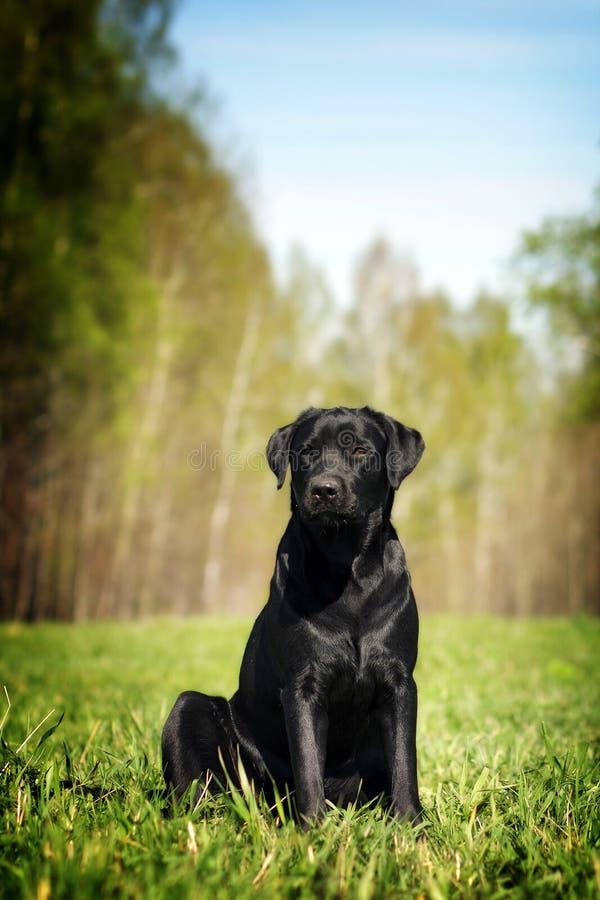 De ernstige zwarte zitting van Labrador op het gras stock afbeelding