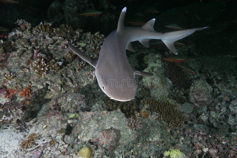 De ertsaderhaai van Whitetip royalty-vrije stock foto's