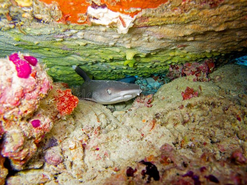 De ertsaderhaai van Whitetip royalty-vrije stock fotografie