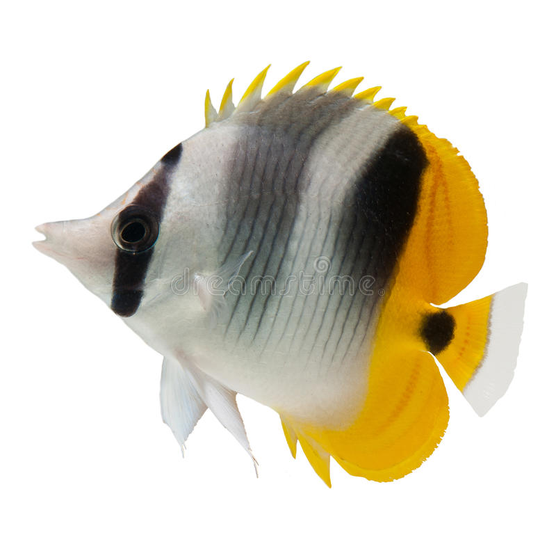 De ertsadervissen van Butterflyfish op witte achtergrond stock fotografie