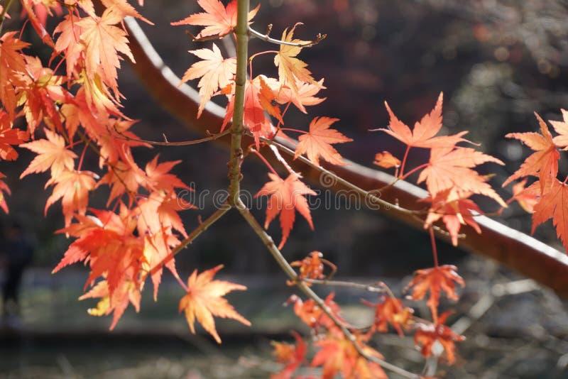 De esdoorn doorbladert die ik in de herfst nam royalty-vrije stock foto's