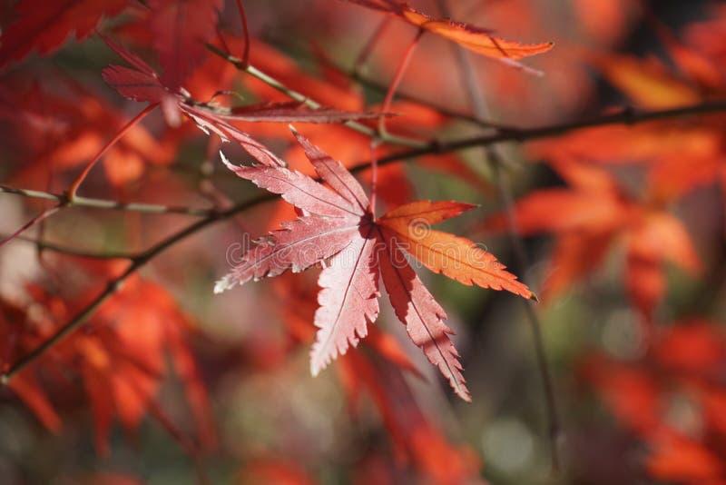 De esdoorn doorbladert is rood in de herfst royalty-vrije stock foto's