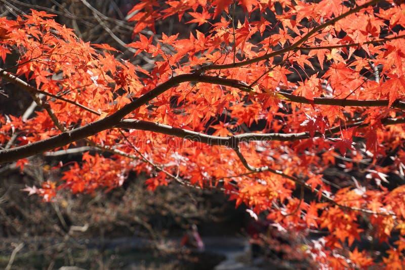De esdoorn doorbladert is rood in de herfst royalty-vrije stock afbeelding