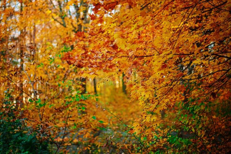 De esdoorn gaat gestippeld en gespikkeld op takken van boom in het midden van de herfstbos weg royalty-vrije stock afbeelding