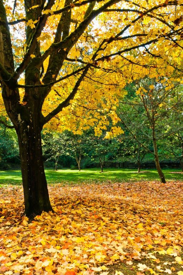 De Esdoorn van de herfst en Stapel van Bladeren royalty-vrije stock afbeeldingen