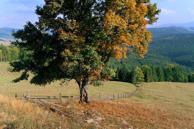 De esdoorn van de herfst op berglandschap royalty-vrije stock fotografie