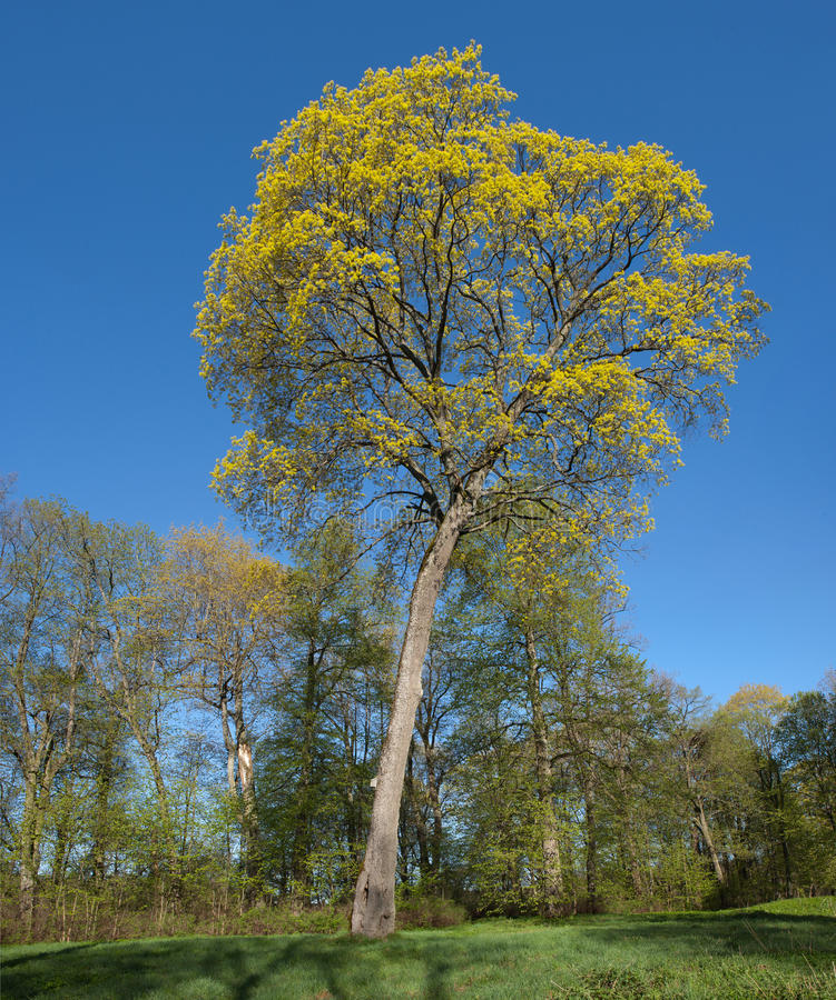 De Esdoorn van Noorwegen (Acer platanoides) stock afbeelding