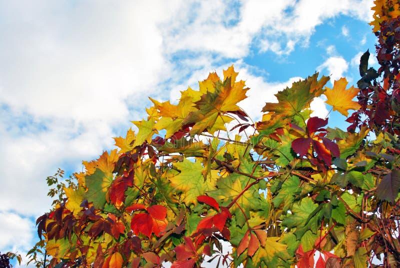 De esdoorn vertakt zich met gele bladeren en wilde druiven rode bladeren op hemelachtergrond stock fotografie