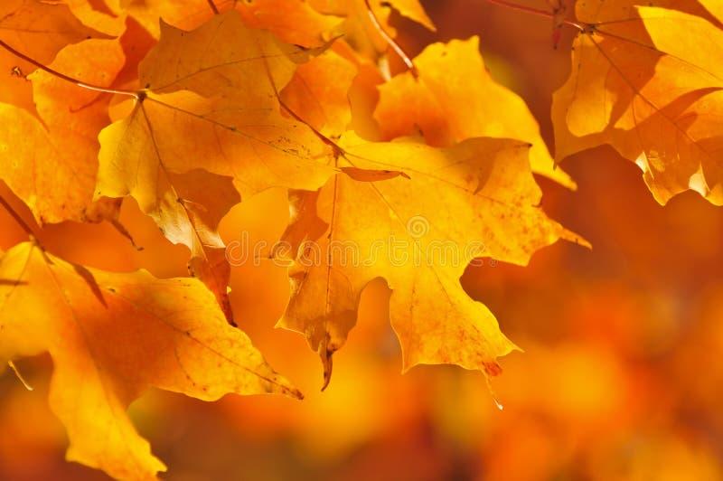 De esdoornbladeren van de daling stock fotografie