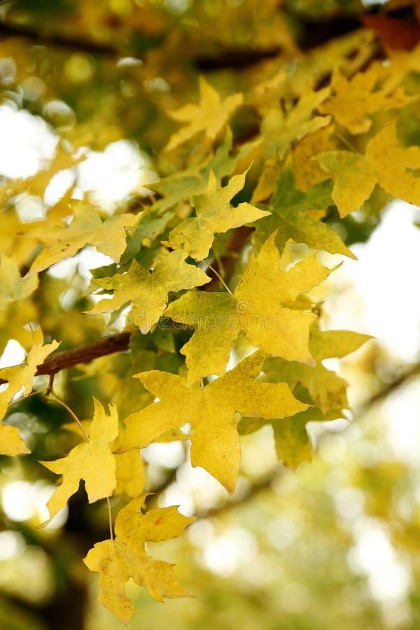 De esdoornbladeren van de daling stock foto